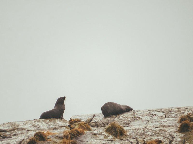 Tijdens een cruise door Fiordland National Park zie je zeeleeuwen.