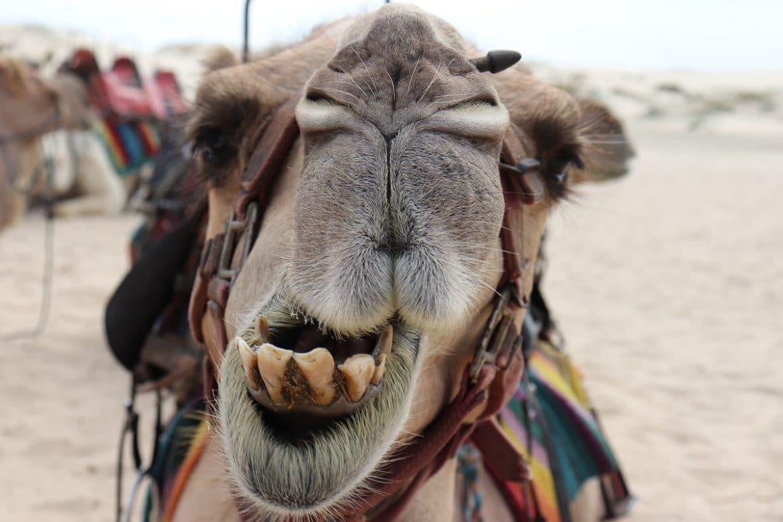 Kameel rijden in Marokko