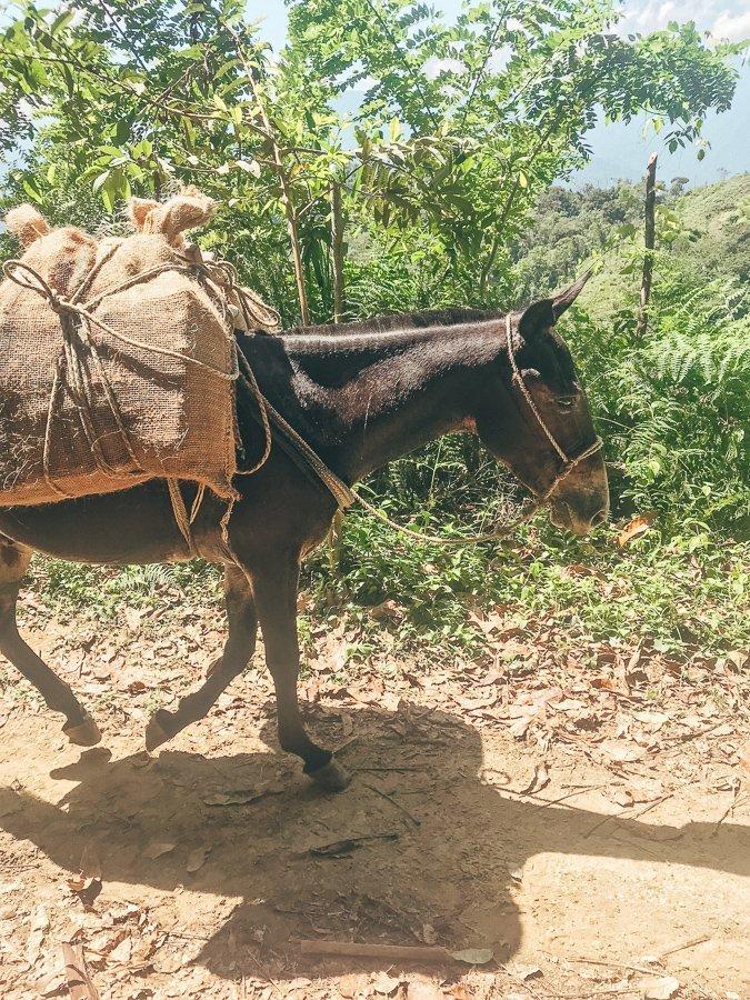 Een bepakte muilezel op weg naar Ciudad Perdida in Colombia