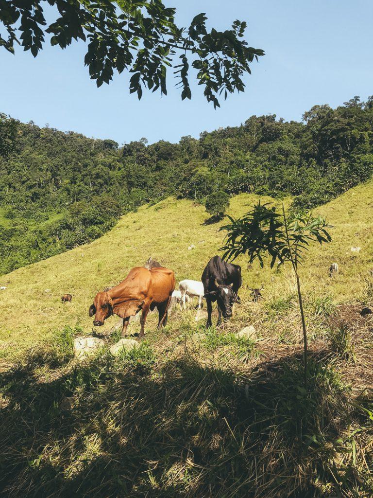 Koeien in het Sierra Nevada gebergte, op weg naar de Verborgen Stad