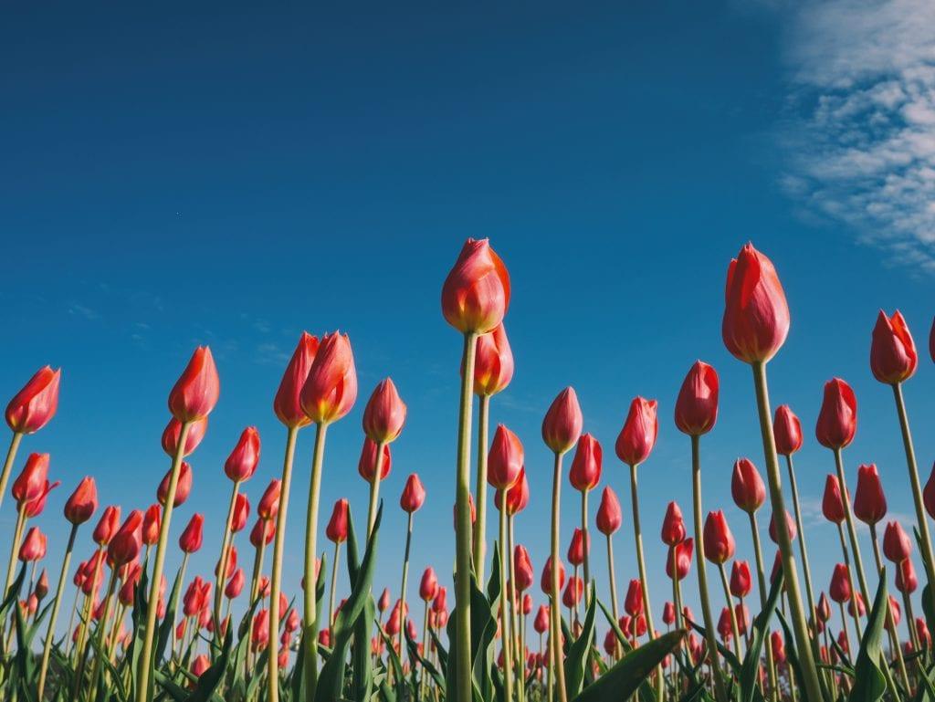 Tulpen zijn typisch Nederlands, hoewel ze oorspronkelijk niet uit Nederland komen
