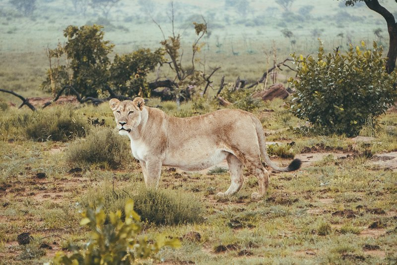 Start the South Africa safari trip with Welgevonden Game Reserve.