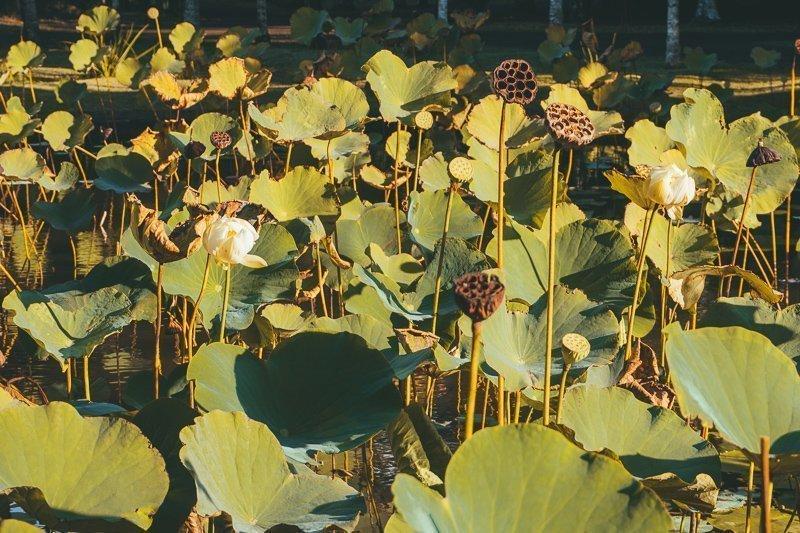 De botanische tuin van Pamplemousse is een van de leukere Mauritius bezienswaardigheden als je van natuur houdt.