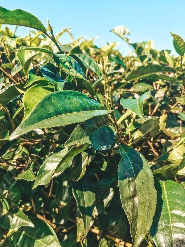 Een van de leukste Mauritius tips: een bezoek brengen aan de theevelden!