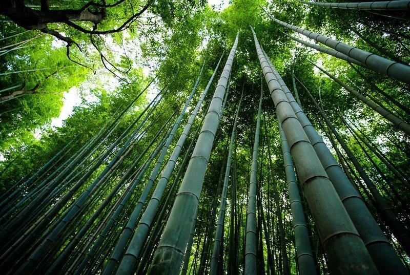 Ontdek het bamboebos in Japan.