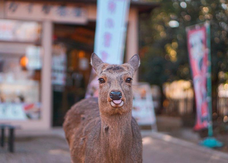 Maak een dagtrip voor Nara voor nog meer tempels en ruim duizend herten.
