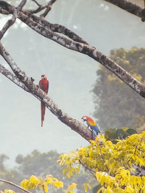 Prachtige macaws.