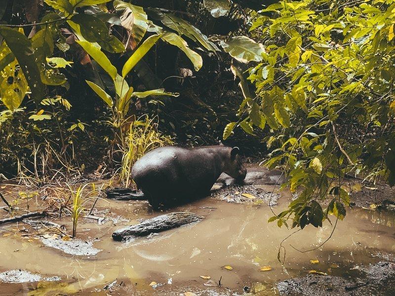 In Costa Rica spot je een hoop dieren, zoals deze tapir.