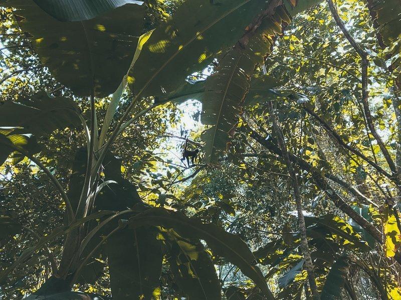Aapjes spotten in het Corcovado Nationaal Park.