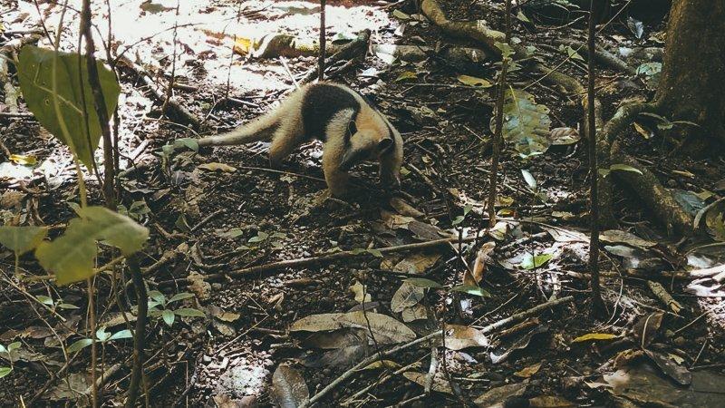 Rondom La Sirena in Corcovado Nationaal Park zie je de gaafste dieren.