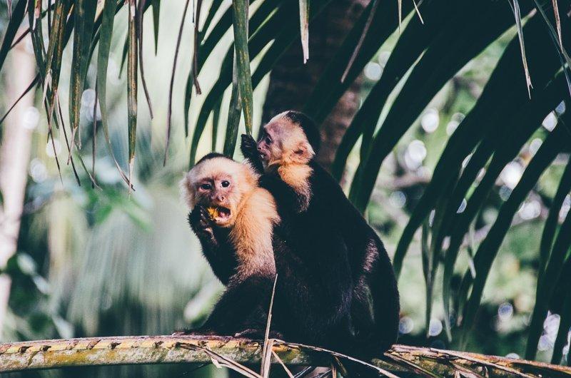 Prachtige apen in het Corcovado National Park.