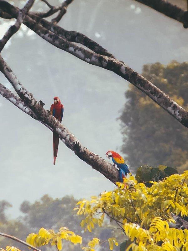 Kleurrijke macaws bij Carate.