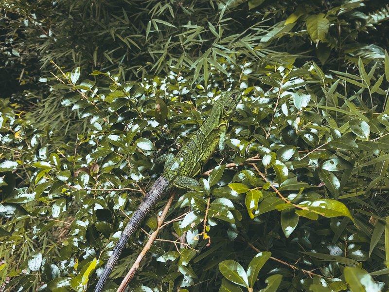 Wildlife bij Tortuguero.