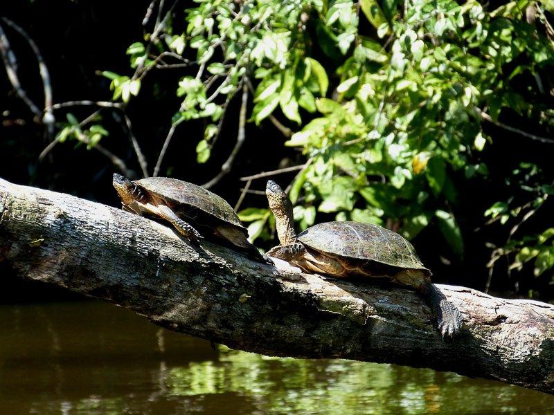 Schildpadden in het Tortuguero National Park