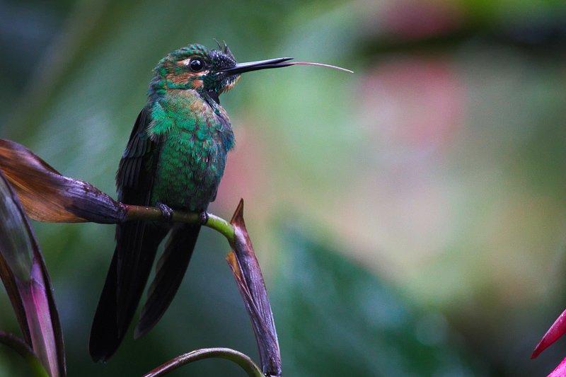 Kolibrie in het prachtige Costa Rica