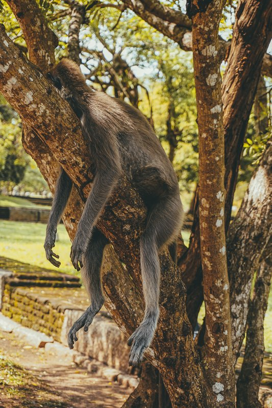 Apen bij Mihintale in Sri Lanka