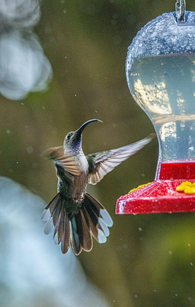 Kolibries in de tuin