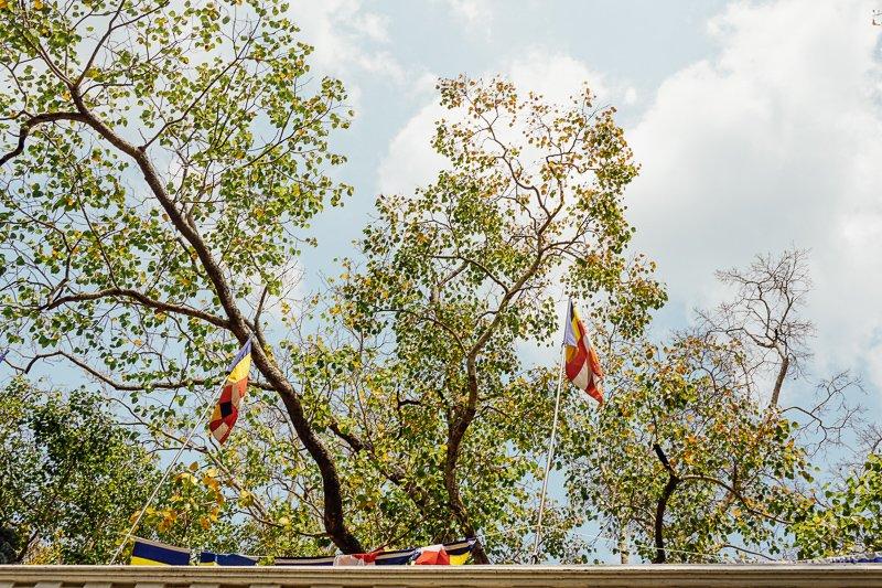 De oudste en heiligste boom ter wereld!