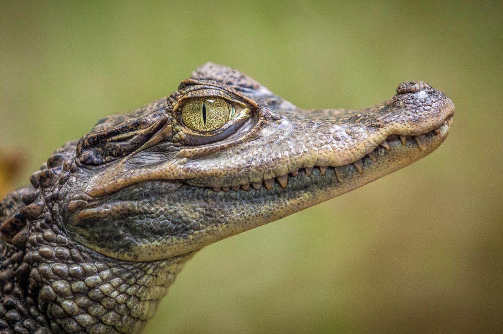 In het Tortuguero National Park kom je een hoop krokodillen tegen.