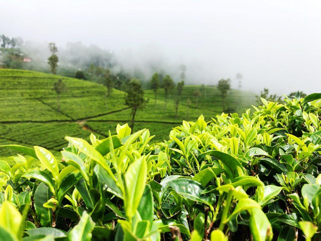 Theevelden bij Haputale nabij Ella in Sri Lanka