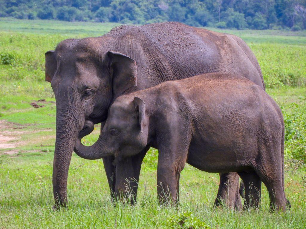 Olifanten in het Minneriya National Park