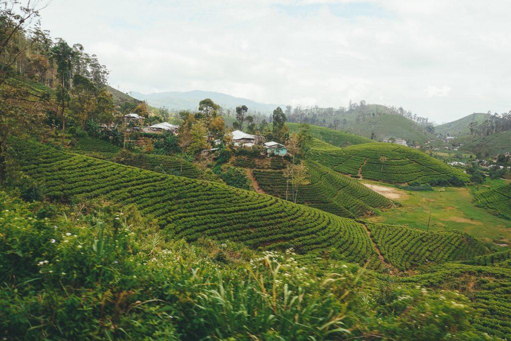 Tijdens deze reisroute door Sri Lanka ontdek je de prachtige theevelden