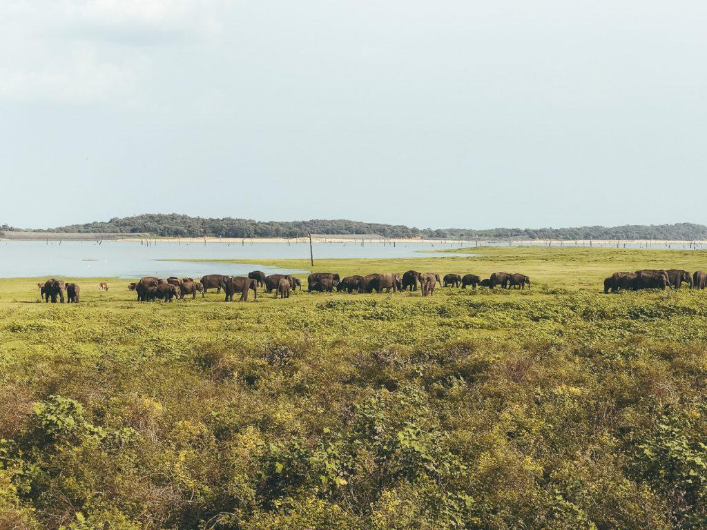 Dertig olifanten in Minneriya