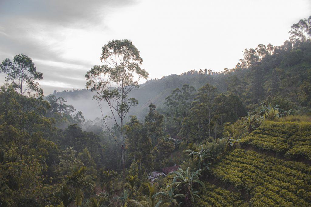 Theevelden bij Ella in Sri Lanka