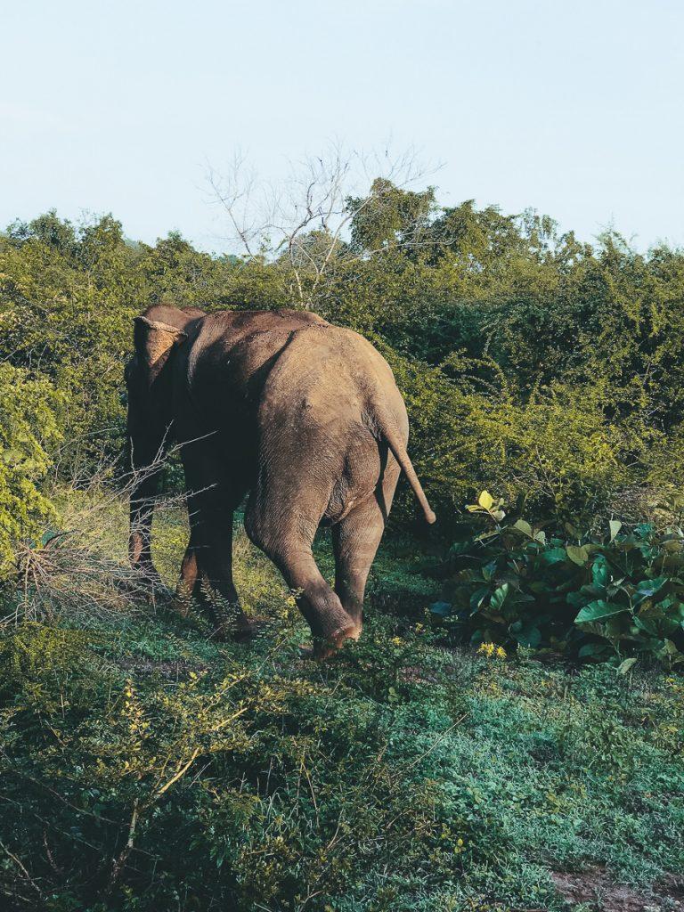 Een overstekende olifant in Sri Lanka