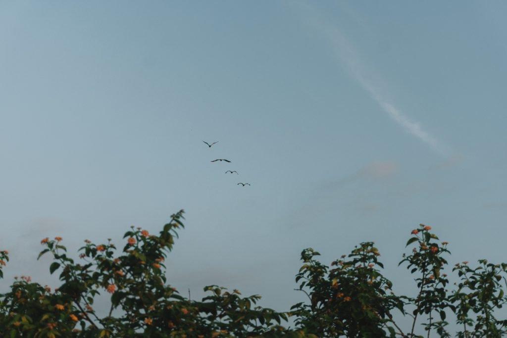 Overvliegende vogels in het Udawalawe National Park