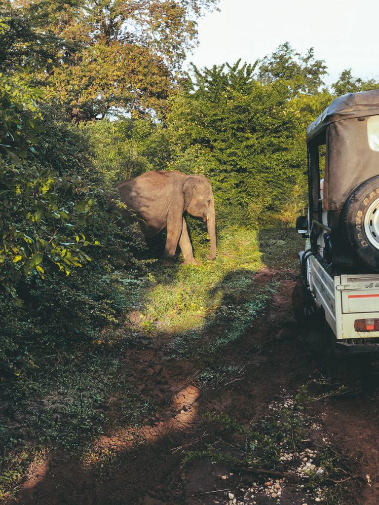 Overstekende olifant in Sri Lanka