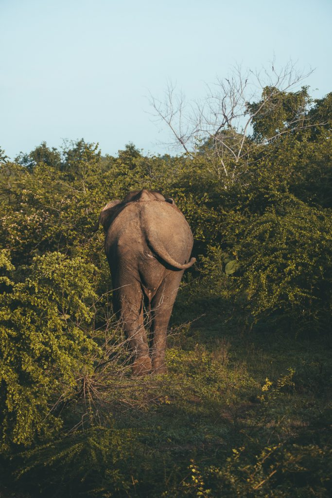 Olifant in het Udawalawe National Park