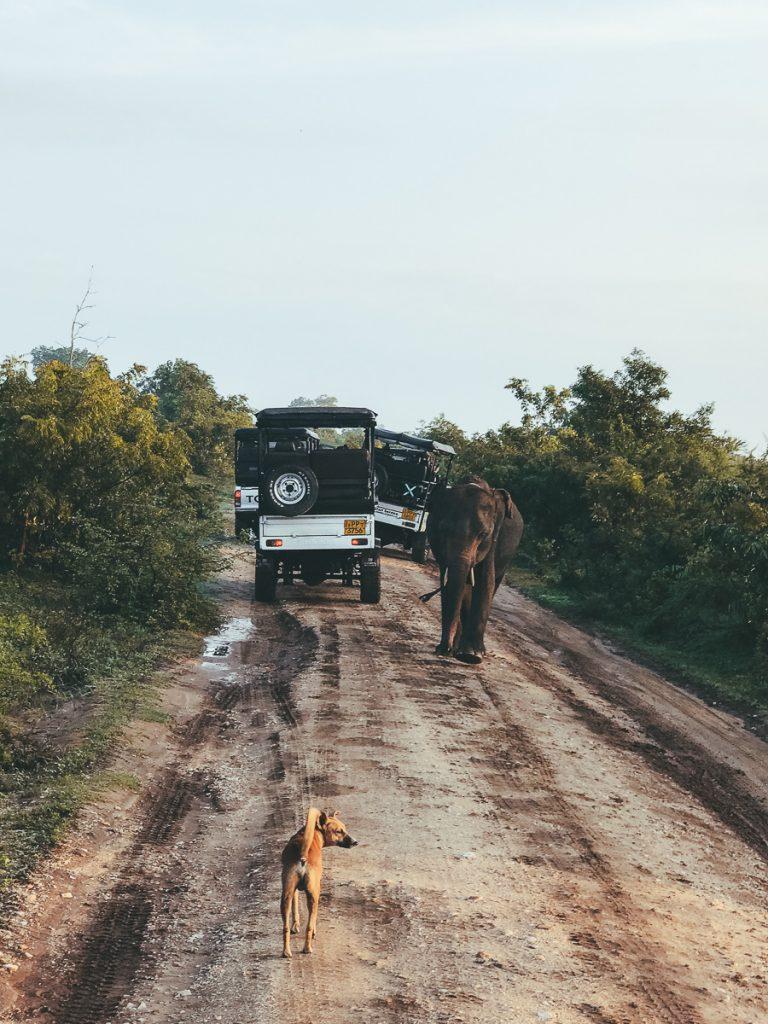 Alle jeeps in het Udawalawe National Park in Sri Lanka