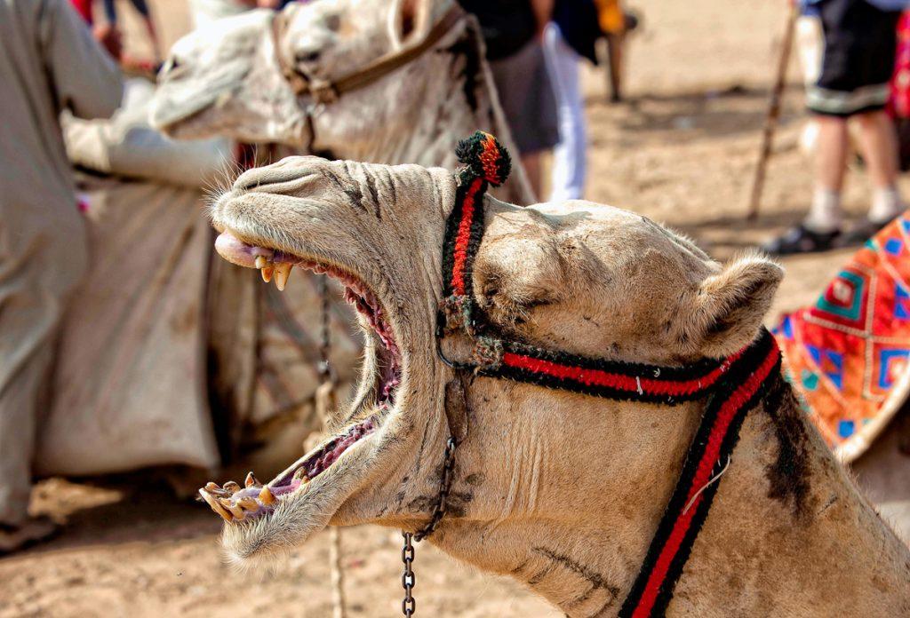 Een schreeuwende kameel tijdens het rijden in de woestijn