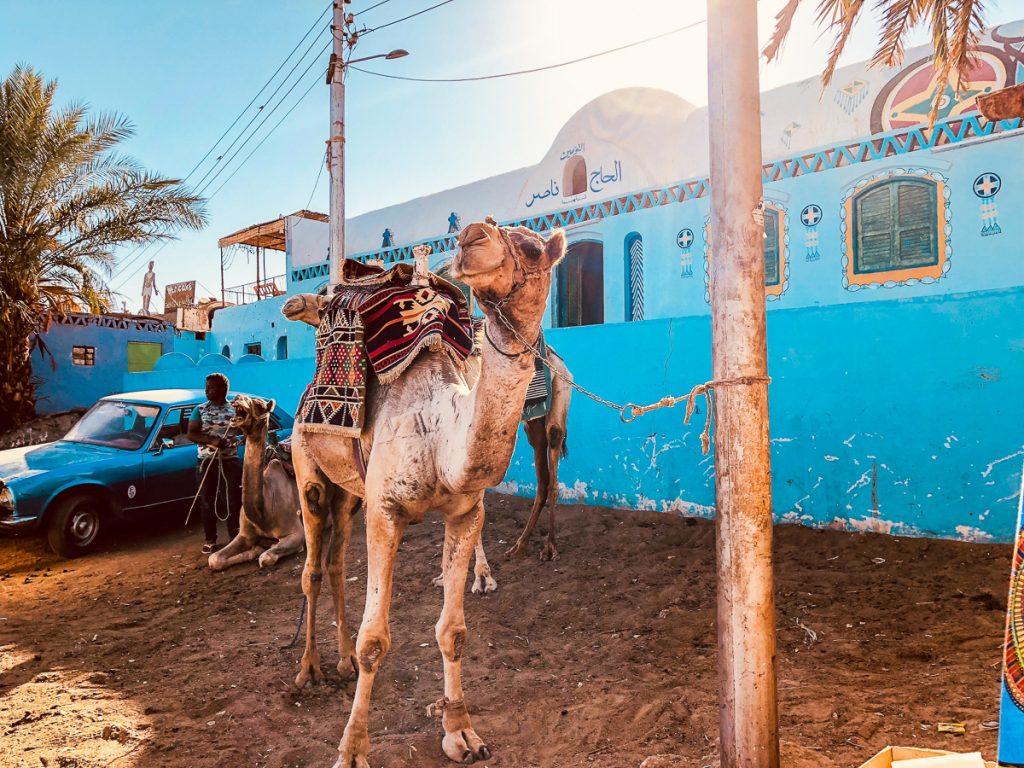 Een kameel is aan het wachten met een touw aan een paal totdat hij weer een ritje mag maken