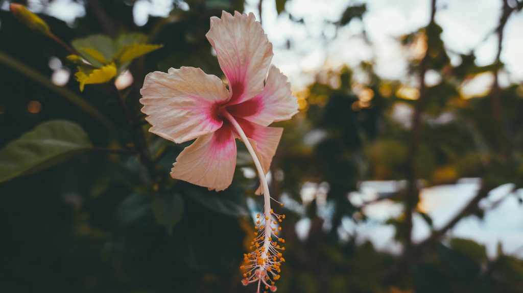 Een roze bloem boven op een heuvel in Nicaragua