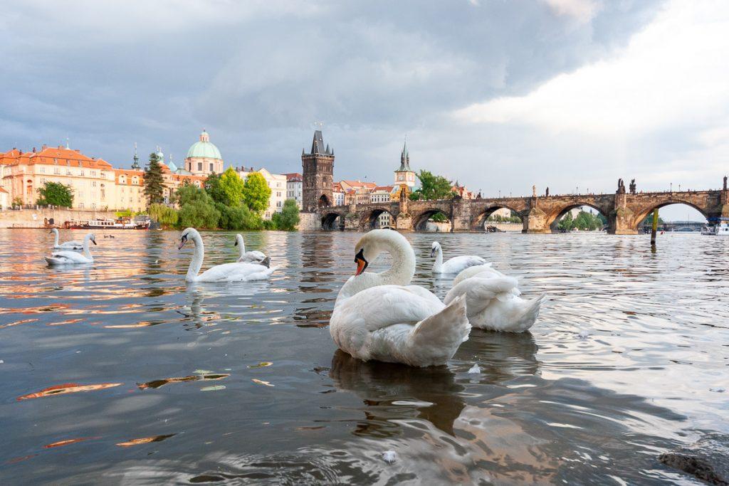 Zwanen in de Moldau rivier in Praag, met de Karelsbrug op de achtergrond