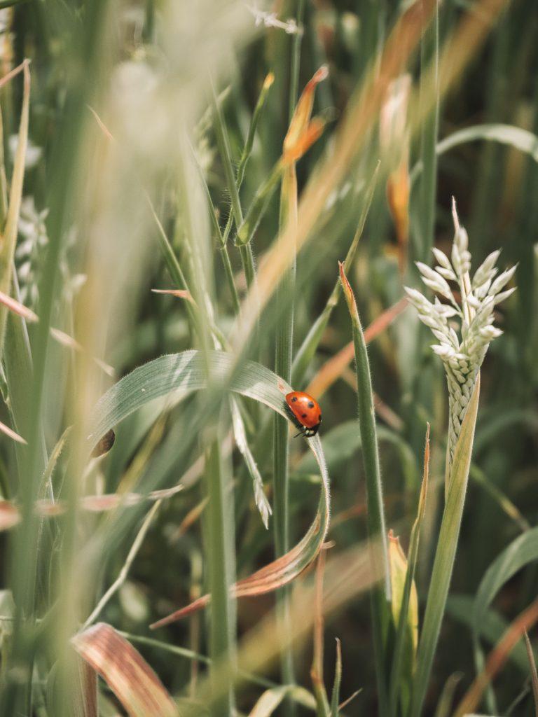 Lieveheersbeestje op groene struiken