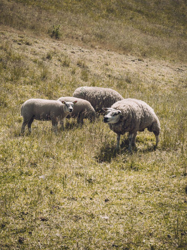 Struinende schapen in de groene weilanden van Texel