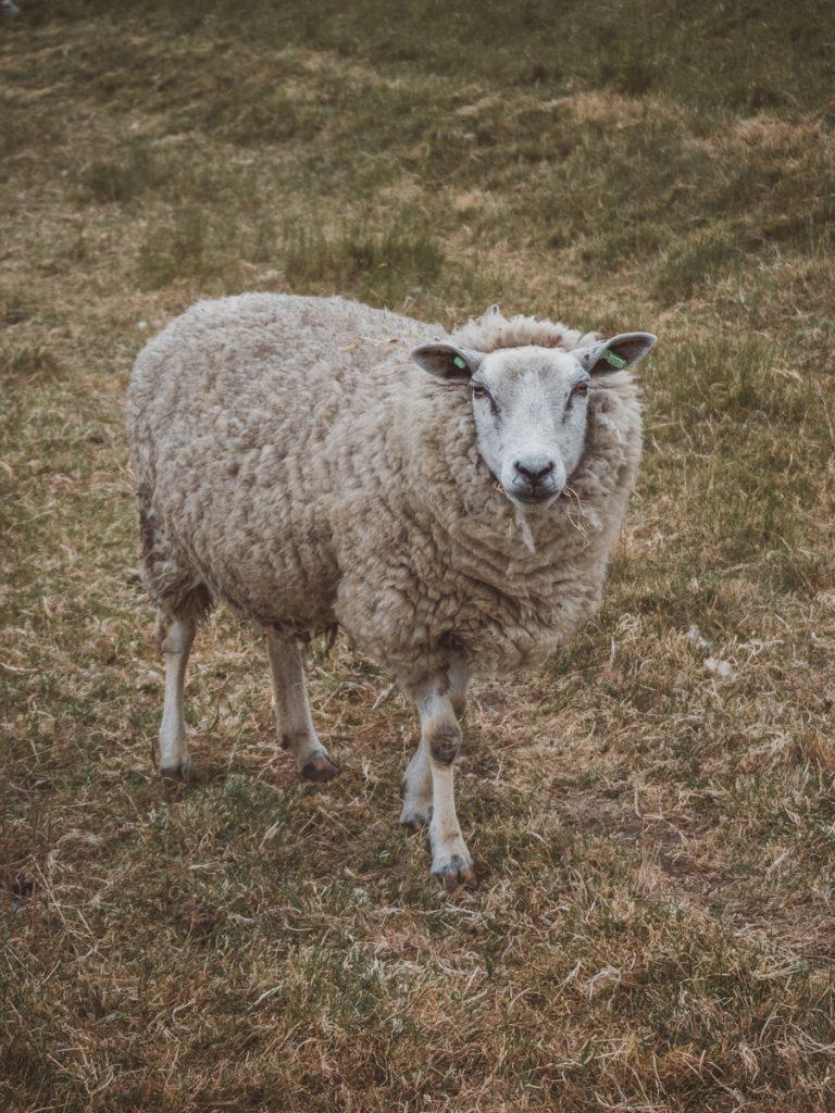 Poserende schaap