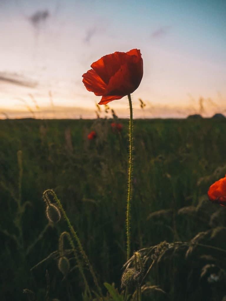 Een rode klaproos voor de zonsondergang