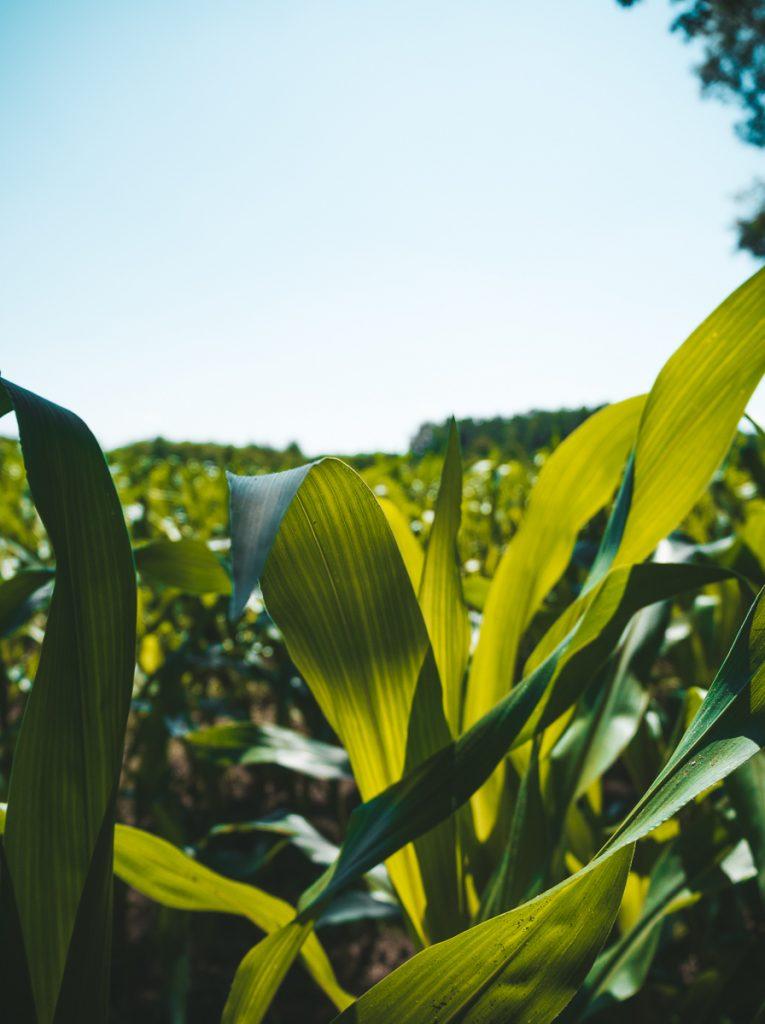 Groene maisvelden