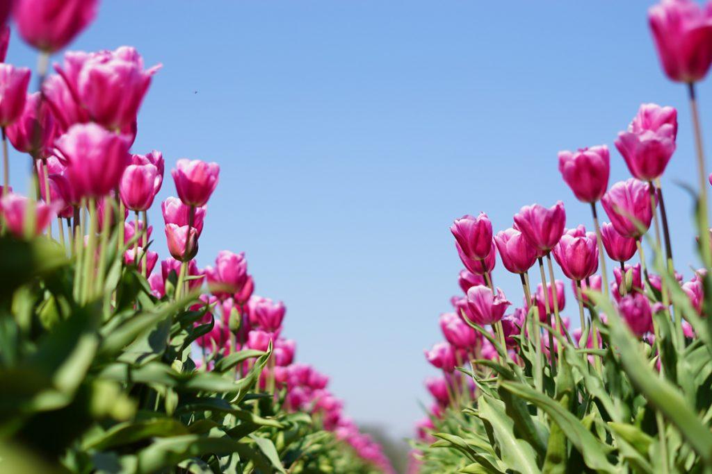 Een van de mooiste roadtrips in Nederland is door de bollenstreek vol met tulpenvelden