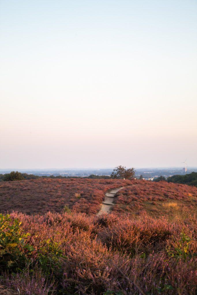 Rode en paarse heide in de Veluwe