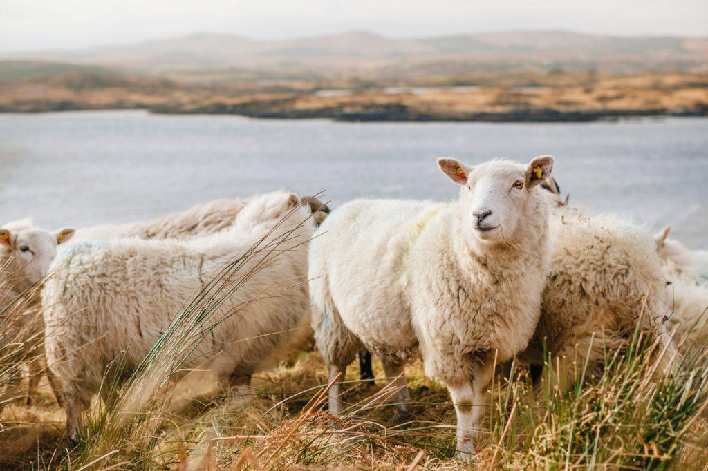 Schapen in Ierland, waar er bijna vier miljoen van zijn