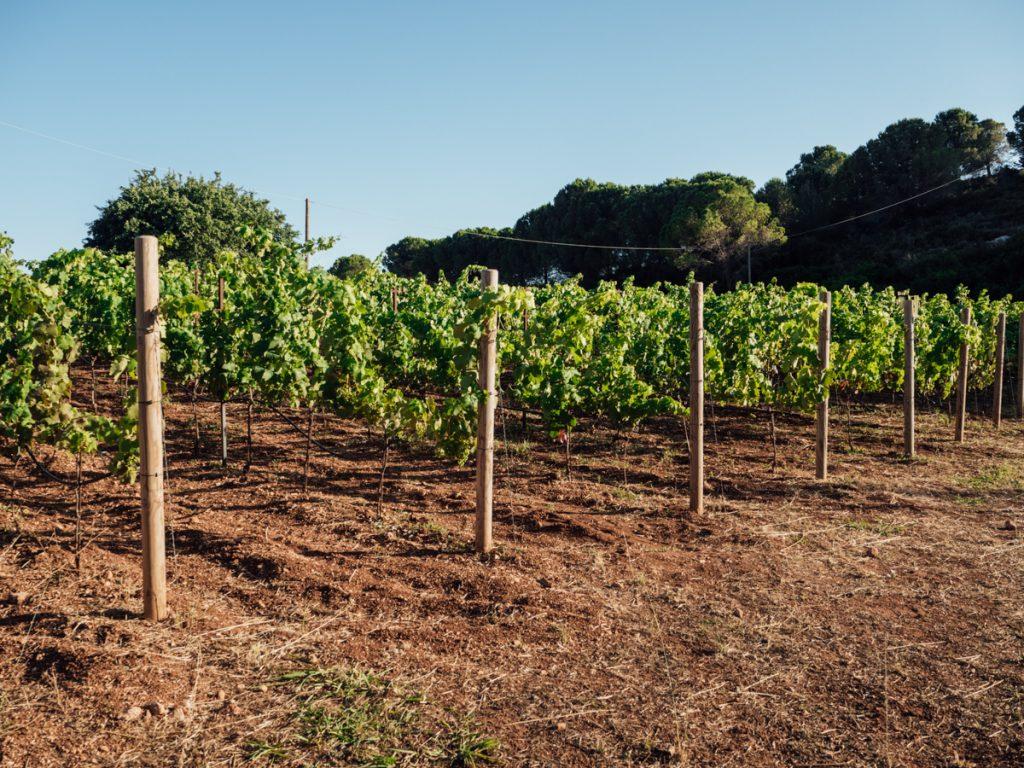 De wijnvelden van Gentilini Winery